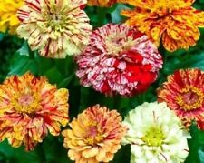 150 PEPPERMINT STICK ZINNIA MIX Mixed Colors Red Stripe Elegans Flower Seeds