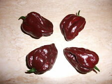 25 Premium Trinidad 7 Pot Douglah Seeds, One of The World's Hottest Peppers