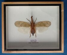 REAL BIG LANTERN FLY ZANNA NOBILIS BEETLE INSECT TAXIDERMY FRAMED ENTOMOLOGY