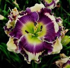 Daylily Seeds (Jupiters Fortune x Fantasy Fringe) (8) Seeds