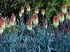 "50+ PERENNIAL FLOWER GARDEN SEEDS - RED HOT POKER - ""CAULESCENS""  EYE-CATCHER!!"