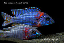 "3"" Male Red Shoulder Peacock Aulonocara Lake Malawi African Cichlid Live Fish"