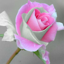 Light Pink 55 Flower Rose Seeds Romantic Beautiful In Stock Wholesale Hot Sale