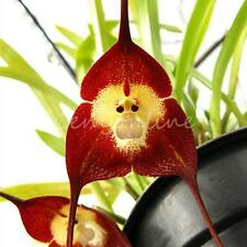 "10x Colors Mixed Rare Monkey Face Orchid Flower Seeds ""Dra Cula Simia"" ""Dracula"""