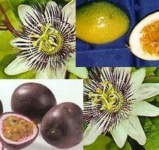 leckere Früchte von der Passionsfrucht / Passionsblume