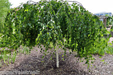 Betula pendula Youngii / Youngs Weeping Silver Birch Tree, grown peat free 4ft+