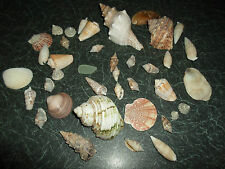 JOB LOT 360g SEA SHELL COLLECTION - Super Props - Bathroom / Shop Display etc #4