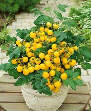 15 Graines de TOMATE NAINE JAUNE Window Box / 50-70CM