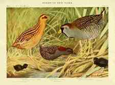 A4 Photo Fuertes Birds of NY 1914 Rails 2 Print Poster