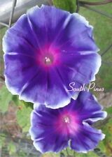 Blue Flame Japanese Morning Glory Seeds - ipomoea nil - NEW  ஐƸ̵̡Ӝ̵̨̄Ʒஐ