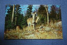 Vintage Postcard Kenora Sports Shop, Kenora, Ontario, Canada White Tail Deer