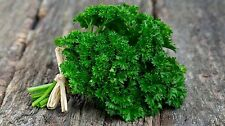 Certified Organic Forest Green Parsley Seed (500 seeds) Open Pollinated 2017