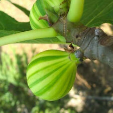 2 Cuttings of Tiger Fig /  Panache Fig Tree, Large Fig Tree Cutting,Zone 7 to 11