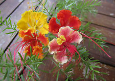 RED, PINK, YELLOW FLOWER MIX OF SEEDS  PEACOCK ORCHID * CAESALPINIA PULCHERRIMA