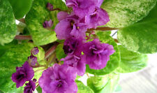 African Violet  Young PLANT  23 Reka  Enisej  Usambaraveilchen Trailer