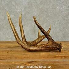 #16444 P   Whitetail Deer Taxidermy Antler Shed For Sale