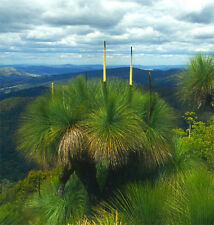 Xanthorrhoea australis Southern Grass Tree - Fresh Seeds