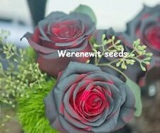 20 X RARE BLACK BEAUTY RED BLOOD ROSE SEEDS,FREE POST,FREE GIFT,AUSSIE SELLER