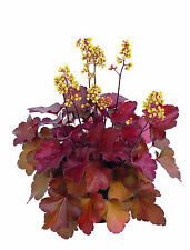 "Heuchera, purpuglöckchen ""Little Cuties-Blondie"""