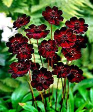 Chocolate Cosmos (Cosmos atrosanguineus) tubestock flowering plant.
