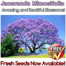 Jacaranda Tree: Amazing & Beautiful Ornamental Jacaranda Mimosifolia Plant SEEDS