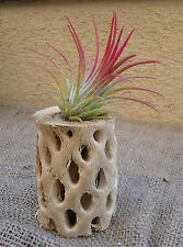 Small Cholla Wood Perfect for Air Plants, Bromeliads and More