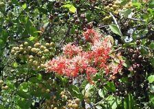 Lawsonia inermis HENNA Seeds!