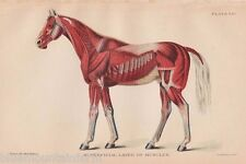 Antique Veterinary Equine Color Book Plate Print Farrier Horse Muscle Diagram