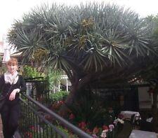 Die Yucca Torrey Palmen Samen / winterharte Pflanzen für das Frühjahr den Garten