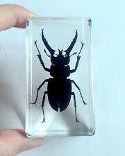 Chinese in Clear Acrylic Lucite Real Insect Specimen Longhorn Black Stag Beetle