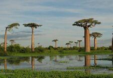 Baobab árbol-Semillas Frescas, Interior Planta De Interior O Bonsai, Raro exótico árbol