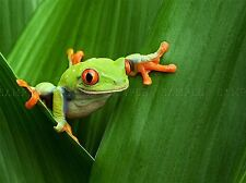 RED EYED TREE FROG CLIMBING LEAF PHOTO ART PRINT POSTER PICTURE BMP1165A