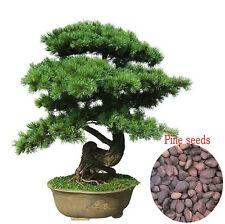 25 Semillas Pino Negro Japonés Árbol Bonsai  (Pinus Thunbergii)