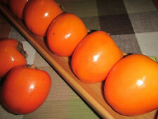 Diospyros KAKI 'Hana-Fuyu' - Kakibaum - winterharte Pflanze 150-180cm - Früchte