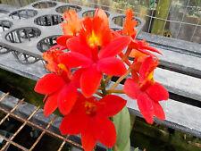 BIN-Epi. Lake View x Hokulea) 'Super Red 4N'  Large Intense Red! Exclusive