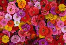Zinnia- Zin Master Mix- 100 Seeds- 50 % off sale