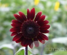 Red Fortune Sunflower Flower Seed 15 Seeds Garden patio plant balcony Bonsai