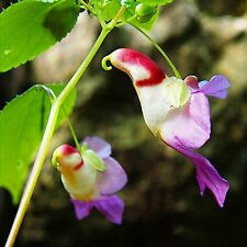 20pc China Rare Parrot Orchid Flower Seeds DIY Home Garden Bonsai Plant HOT SELL