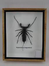 Echter Geißelskorpion in einer Holzbox hinter Glas  3D Ansicht Skorpion
