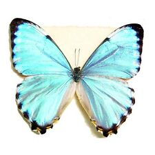 ONE REAL BUTTERFLY BLUE PERUVIAN MORPHO PORTIS UNMOUNTED WINGS CLOSED