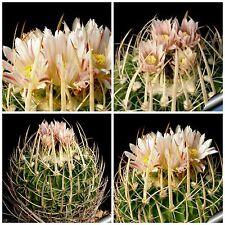 10 semi di Echinofossulocactus  guerraianus ,piante grasse,seeds cactus
