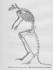 Känguru Skelett Gerippe Holzstich von 1891 Kängurus