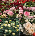 Blumen Buschrosen Rosen Farbe gelb rosa 100 Samen / Für kostenlose Blumensträuße