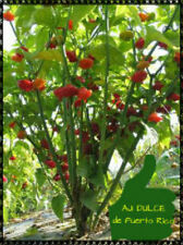 SWEET PEPPER SEEDS AJI DULCE SEEDS 100++ FREE SHIPPING
