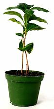"Arabica Coffee Plant - 4"" Pot Grow Your Own Coffee GIFT Easy Mature Holiday"