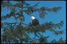 135063 Bald Eagle Sitting In Tree A4 Photo Print