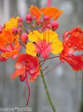 6 graines Paradisier Flamboyant Nain (Caesalpinia) Peacock Flower Semillas Seeds