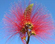 Puderquastenstrauch • Baum-Calliandra • 10 Samen/seeds • Calliandra houstoniana