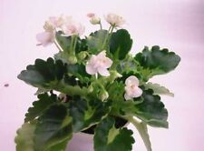 African violet plant LEAF leaves cutting PETITE BLARNEY