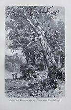 1896 EPHEU AM STAMM EINER EICHE BEFESTIGT alter Druck antique Print Litho